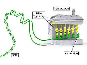 English: An illustration of a telomerase molecule